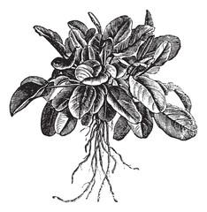 Garden sorrel or Rumex acetosa or Common Sorrel. Variety called