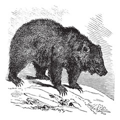 JACK Bear (Ursus horribilis), vintage engraving