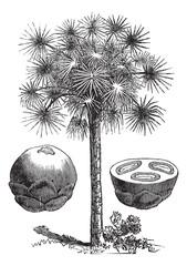 Sugar palm or Borassus flabellifer, vintage engraving