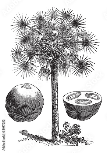 Sugar palm or Borassus flabellifer, vintage engraving