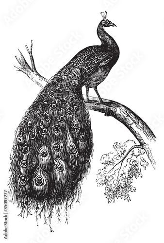 Indian Peafowl or Blue Peafowl or Pavo cristatus, vintage engrav