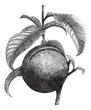 Peach or Prunus persica, vintage engraving