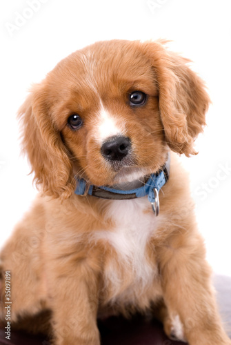 King Charles Cavalier six week old puppy with Soulful Eyes