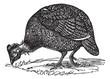 Common guinea fowl (Numida meleagris), vintage engraving.