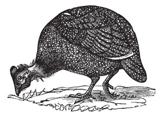 Common guinea fowl (Numida meleagris), vintage engraving.
