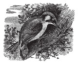 Woodpecker or piculets or wrynecks, vintage engraving.