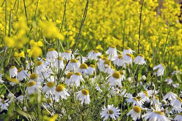 Daisy near rape field.