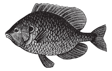 Pumpkinseed Sunfish or Lepomis gibbosus, vintage engraving
