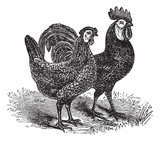 Male and female of White-Faced Black Spanish (chicken) vintage e