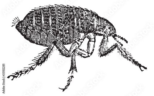 Human flea or Pulex irritans vintage engraving