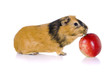 Guinea pig eats an apple. Isolation on the white