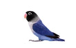 Blue masked lovebird on the white background