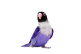 Violet masked lovebird on the white background