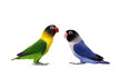 Pair of Masked Lovebird on the white background