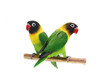 Pair of Masked Lovebird natural coloring on the white background