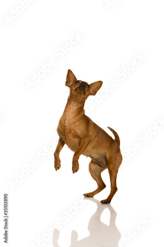 The dwarfish pinscher costs. Isolation on the white