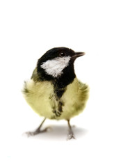 The female great tit (Parus major), isolated on white