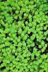 Sedum, moss shoots close-up