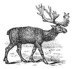 Reindeer or Rangifer tarandus vintage engraving