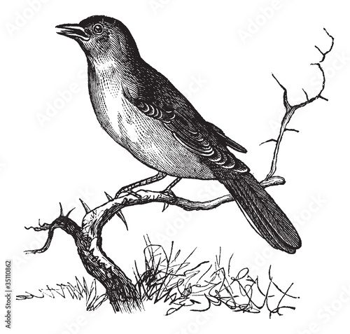 Nightingale or Luscinia megarhynchos vintage engraving