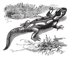 Spotted Salamander or Ambystoma maculatum vintage engraving