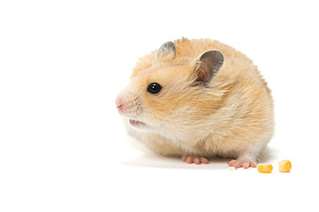 Hamster with corn seeds