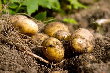 Kartoffelernte  (Solanum tuberosum)