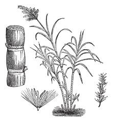 Sugar Cane, vintage engraving.