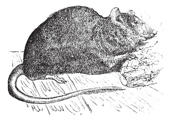 Brown rat (Mus Decumanus) or common rat, vintage engraving.