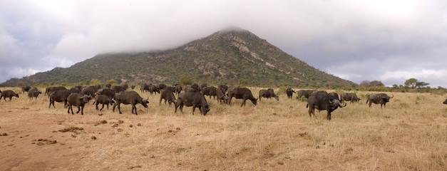 African savannah with buffaloes