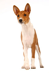 Basenji puppy, 4 months, on the white background