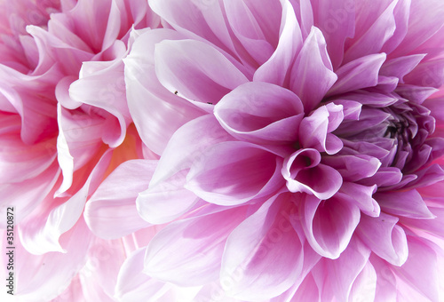 Fotobehang Lilac Dahlia