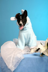 Basenji puppy, 4 months, in the fancy dress of rabbit