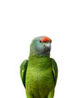 Festival Amazon parrot on the white background