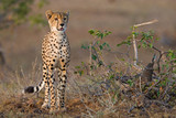 Cheetah youngster poster