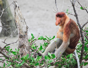 proboscis monkey long nosed