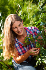 Gardening in summer - woman harvesting tomatoes