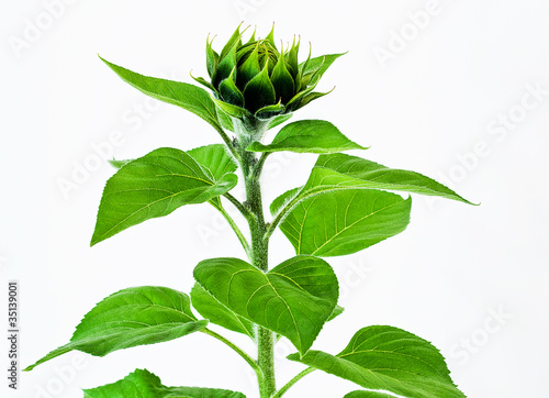 green sunflower bud