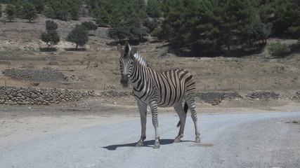Zebra on the road