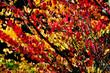 vivid summer leaves