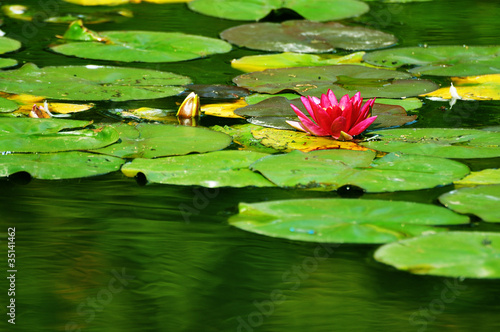 pink water lily flower