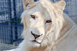 Portrait of beautiful young white lion