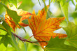 The first autumn maple leaf