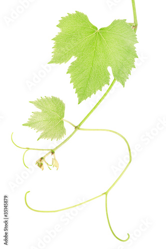 Green fresh grape leaves isolated on white, clipping path includ