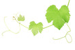 Grape vine clipping path included
