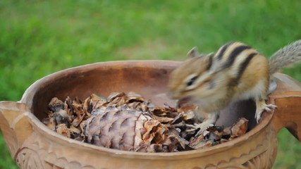 Бурундук (chipmunk) достаёт кедровые орешки