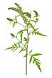 Ragweed plant