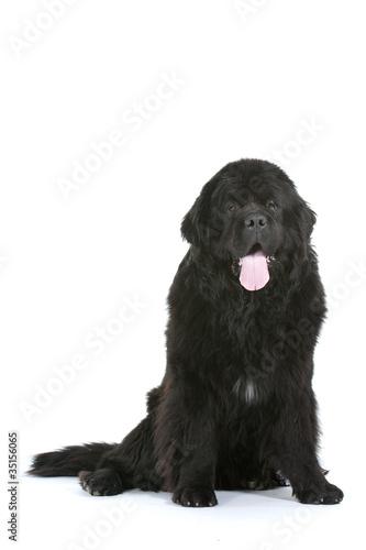 chien Terre Neuve assis de face en studio Poster