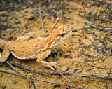 lizard_2