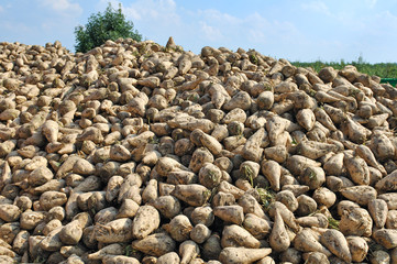 pile of suger beets on harvest day
